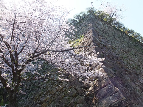 朝 武者返しと桜