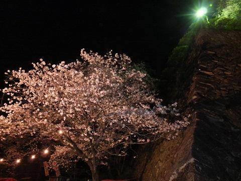 夜 武者返しと桜